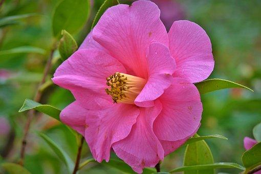 Camelia, Flower, Blossom, Bloom, Pink, Petal, Stamp