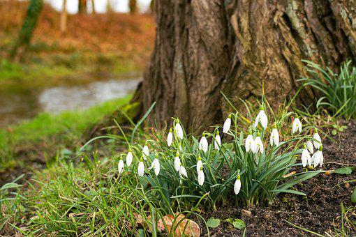 Snowdrop, Flower, Spring, Plant, Signs Of Spring