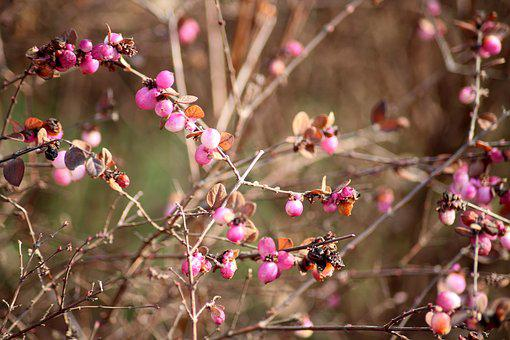 Bush, Hedge, Pink Beads, Plants In Winter, Figure