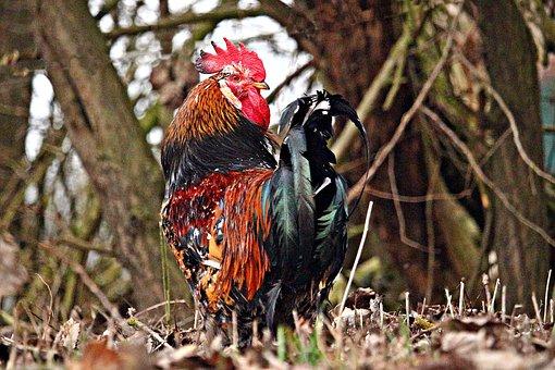 Hahn, Bird, Poultry, Chicken, Plumage, Animal, Farm