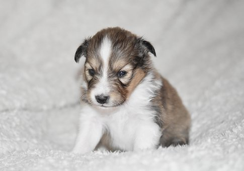 Puppy, Puppy Shetland Sheepdog, Puppy Sitting, Dog, Pup