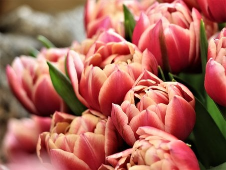 Tulips, Flowers, Bouquet, Red, Spring, Garden, Pink