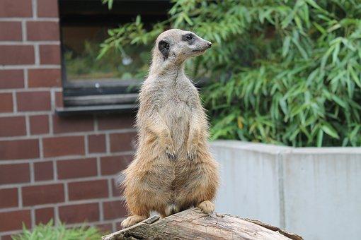 Meerkat, Animal, Vigilant, Small, Cute, Animal World