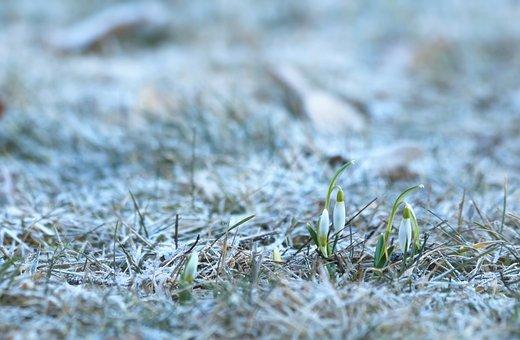 Snowdrops, Flower Bulbs, Spring Flowers, Plants, White