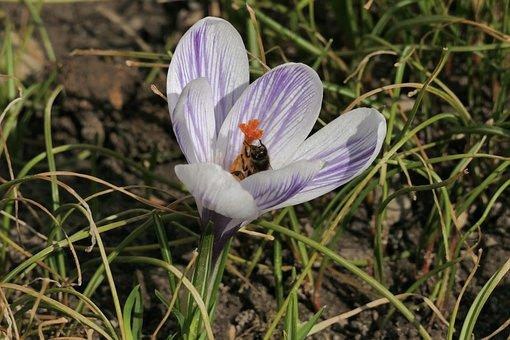 Snowdrop, Spring, Flower, White, Krokus, Flowering