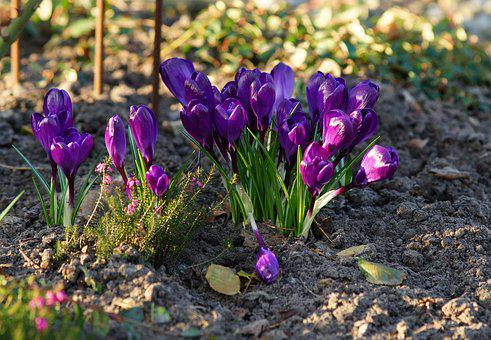 Crocus, Purple, Spring, Nature, Plant, Early Bloomer