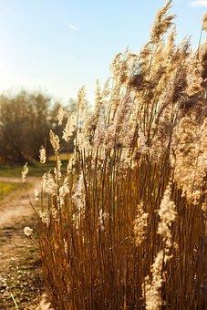 Cereals, Plant, Shrubs, Golden, Summer, Sunshine, Heat
