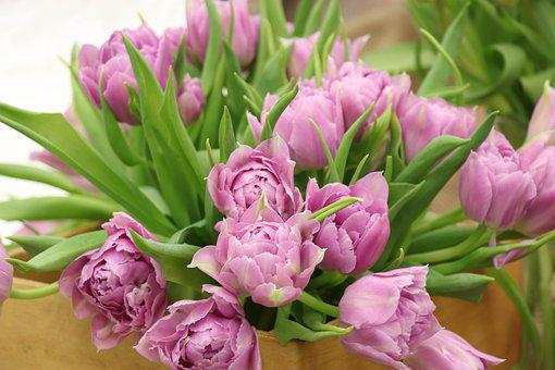 Tulips, Bouquet, Pink, Lilac, Spring, Leaves, Gift