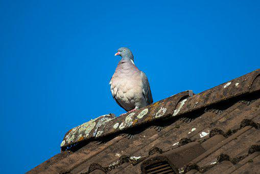Dove, Ringdove, Majestic, Watch, Plumage, Thrones, Sit
