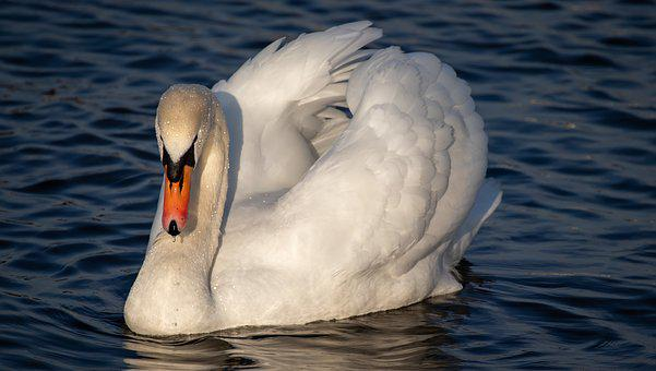 Swan, Water, Bird, Water Bird, Plumage, Swim, Feather