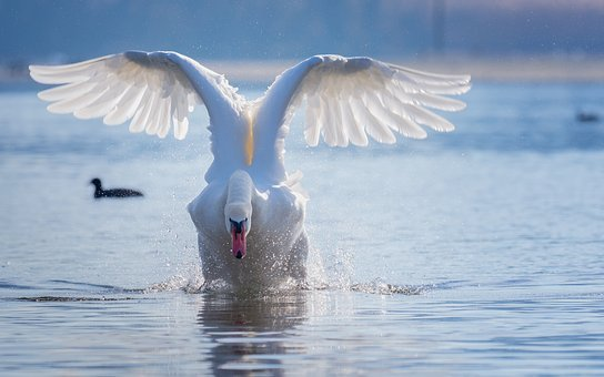 Swan, Flight, Start, Water, Spray, Lake, Water Bird