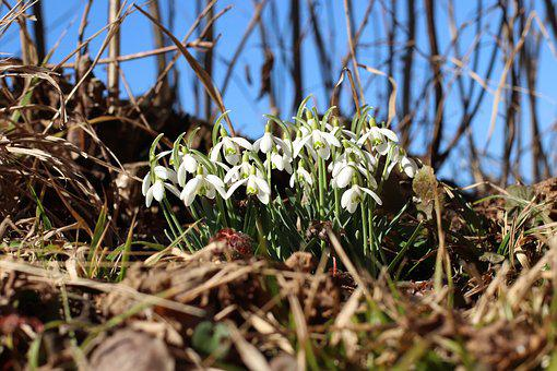 Spring, Snowdrop, Flowers, Plant, Close Up, White