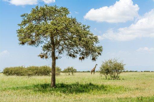 Giraffe, Safari, Africa, Wildlife, Animal, Nature