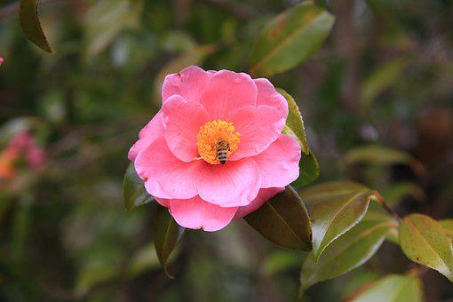 Camellia, Red, Flowers, Bee