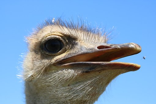 Bouquet, Africa, Bird, Flightless Bird, Ostrich Farm