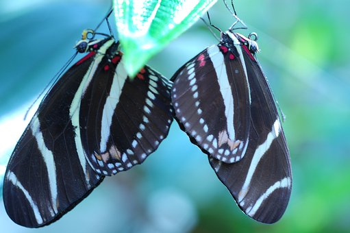 Butterflies, Insects, Nature, Wings, Couple, Black, Red