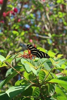 Butterfly, Zebra, Zebra Longwing Butterfly