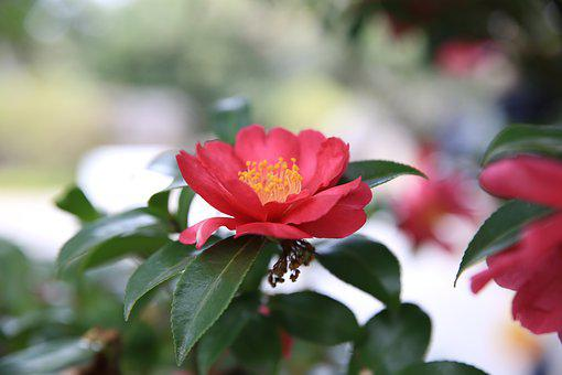 Camellia, Red, Flowers, Flora