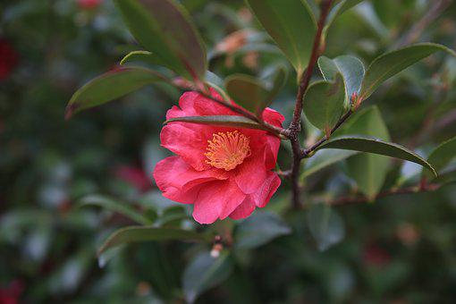 Camellia, Red, Flowers, Beautiful