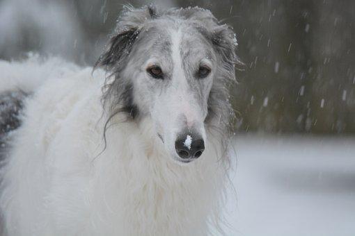 Dog, Art, Pet, Animal, Puppy, Canine, Borzoi