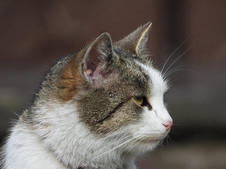 Cat, Kitten, Dachowiec, Animals, Fur, Cats, Portrait