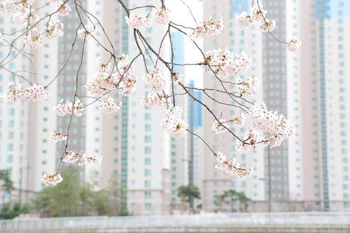 Flower, Cherry Blossom, Spring, Pink, Cherry Blossoms