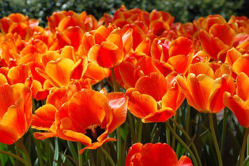Spring, Color, Tulips, Flowers, Colorful, Nature, Bloom