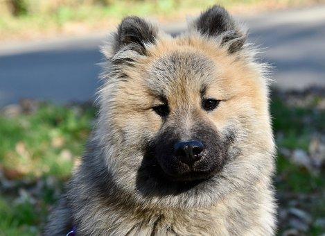 Dog, Dog Eurasier Olaf Blue, Pup, Animal, Doggie