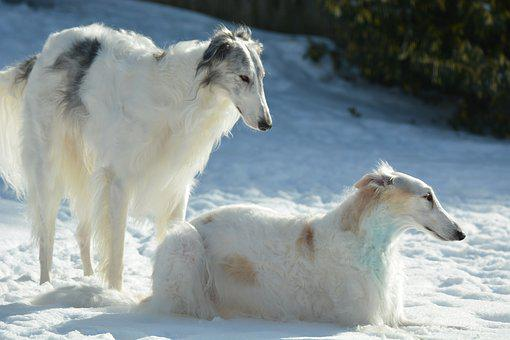 Dogs, Pets, Puppy, Animal, Pet, Russian Wolfhound