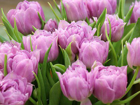 Tulips, Spring, Holiday, Flowers, Tulip, Flower, Flora