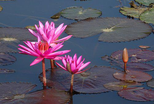 Lily, Flower, Red Water Lily, Pond, Nature, Aquatic