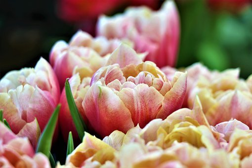 Tulips, Flowers, Spring, Garden, Red, Pink, Flower