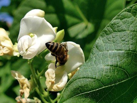 Magnolia, Spring, Flowering, Bud, Bee, Beans, Flower