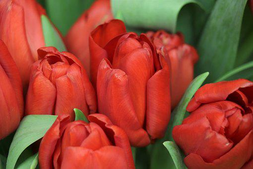 Tulips, Red, Flowers, Garden, Spring, Tulip, Flower