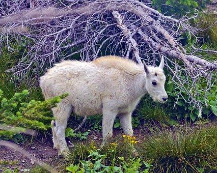 Lamb Mountain Goat, Alpine, Forest, Goat, Horns