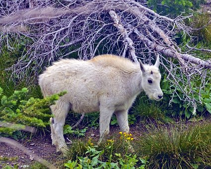 Lamb Mountain Goat, Alpine, Forest, Goat, Horns