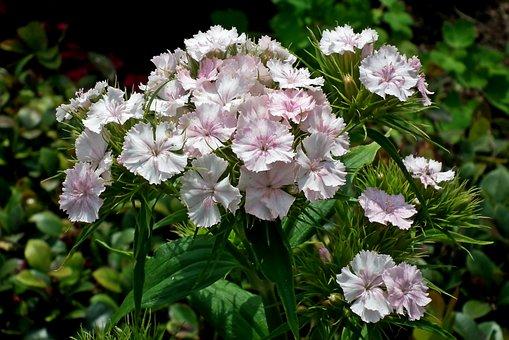 Gożdziki Stone, Flourishing, Summer, Flowers, Beauty