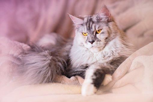 Cat, Maine Coon, Animal, Gray, Silver, Head, Feline