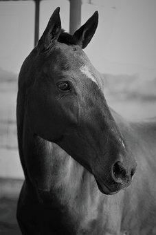 Horse, Horses, Equine, Stallion, Riding, Ride, Farm
