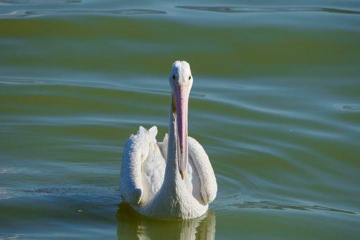 Pelican, Chapala, Lake, Jalisco, Landscape, Mexico, Ave