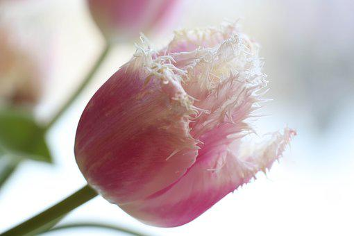 Tulip, Spring, Pink, Light, Bloom, Flowers, Tulips