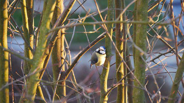 Blue Tit, Bird, Nature, Garden, Songbird, Animal World