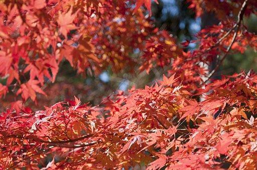 Japan, Momiji, Momijigari, Nature, Fall, Japanese, Leaf