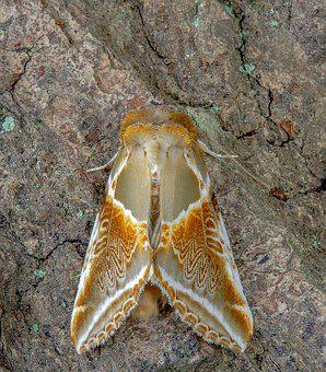 Moth, Buff-arches, Wings, Pattern, Nature, Insect