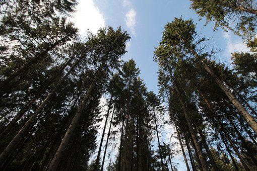 Forest, Nature, Treetops, High, Spruce, Pine, Trees