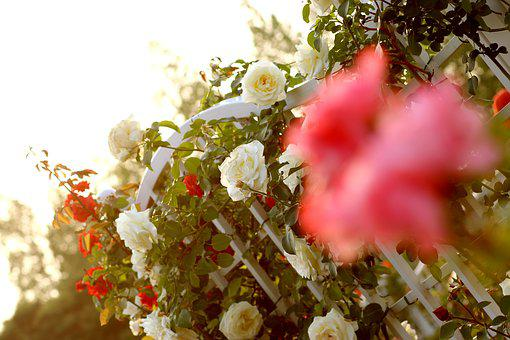 Rose, Vine, Rose Vines, Pink, Flower, Bright, Beautiful