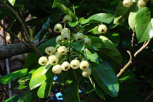 Plant, Fruit, Lantern Tree, Hernandia Peltata