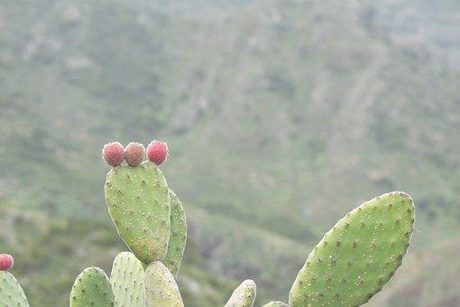 Tenerife, Cactus, Prickly, Cactus Greenhouse, Plant