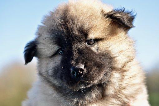 Dog, Bitch, Dog Eurasier Pen, Pup, Animal, Doggie