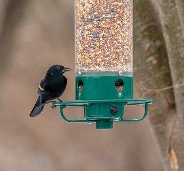 Red Winged Blackbird, Bird Feeder, Backyard, Wildlife